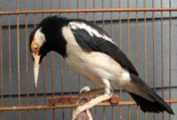 Cara Merawat Burung Jalak Suren