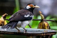 Makanan Burung Jalak Suren Agar Gacor
