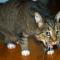 Penyebab dan Cara Mengobati Kucing Muntah Paling AMPUH !