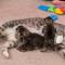 Cara Supaya Induk Kucing Mau Menyusui Anaknya