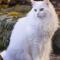 Ciri ciri Kucing Anggora Ras ASLI yang Harus Kamu Tahu !