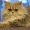 Daftar Harga Kucing Persia Terbaru (2018)
