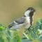 Download Suara Burung Gelatik Batu Gacor