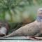 Download Suara Burung Tekukur / Derkuku Pikat