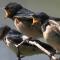 Download Suara Burung Walet Panggil Terbaik