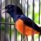 Download Suara Burung Murai Batu Juara