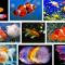 Ikan Hias Air Tawar yang Bisa Dicampur