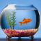 Ikan Hias Aquarium Tanpa Oksigen (Tanpa Pompa Oksigen/Aerator)