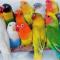 Jenis Burung Lovebird Termahal di Indonesia