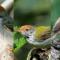 Jenis Burung Prenjak yang Bagus untuk Dipelihara
