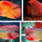Jenis Jenis Ikan Louhan dan Harganya