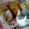 Jenis-jenis Kucing Persia Beserta Gambarnya ! (TERLENGKAP)