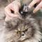 Penyebab dan Cara Mengatasi Penyakit Telinga (Otitis) Pada Kucing