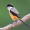 Download Suara Burung Cendet Gacor