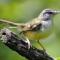 Download Suara Burung Ciblek Betina Pemikat Jantan