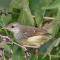 Download Suara Burung Ciblek Ngebren