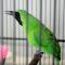 Suara Burung Cucak Ijo Gacor