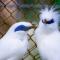 Suara Burung Jalak Bali Durasi Panjang