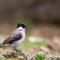 Suara Burung Kutilang Gacor