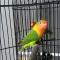 Download Suara Burung Lovebird Ngekek Panjang Mp3