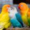 Suara Burung Lovebird Paud / Balibu Ngekek