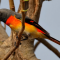 Download Suara Burung Mantenan Gacor