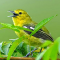 Download Suara Burung Sirtu Gacor Untuk Pemikat