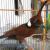 Download Suara Burung Cililin
