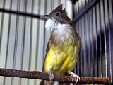 Download Suara Burung Cucak Jenggot