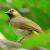 Download Suara Burung Cucak Wilis