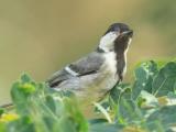 Download Suara Burung Gelatik Batu