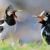Download Suara Burung Jalak Suren