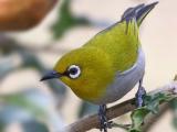 Download Suara Burung Pleci