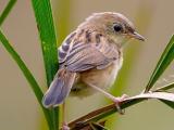Download Suara Burung Prenjak