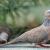 Download Suara Burung Tekukur
