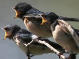 Download Suara Burung Walet