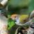 Jenis Burung Prenjak
