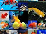 Jenis Ikan Koki