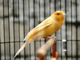 Makanan Burung Kenari Biar Cepat Gacor