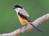 Suara Burung Cendet