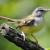 Suara Burung Ciblek Betina