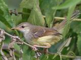 Suara Burung Ciblek Ngebren