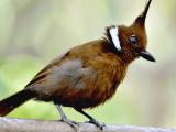 Suara Burung Cililin