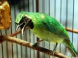 Suara Burung Cucak Ijo