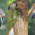 Suara Burung Elang
