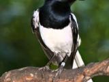 Suara Burung Kacer Poci