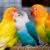 Suara Burung Lovebird Paud