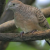 Suara Burung Perkutut Lokal