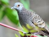 Suara Burung Perkutut Pikat