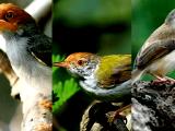 Suara Burung Prenjak Gacor